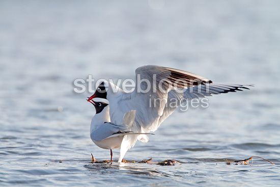Black-headed gulls mating on ice, spring, Norway