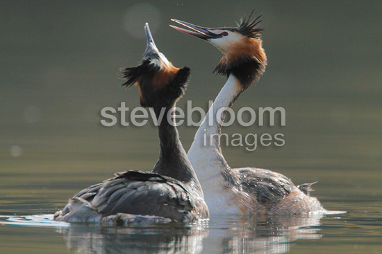 Great crested grebe mating dance, spring, Norway