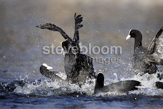 Coot fighting in spring, territorial fight, Norway