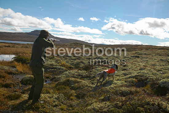 Grouse hunting, birds flying up, Kvikne, Hedmark co, Norway