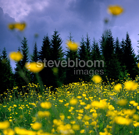 Meadow with buttercup, Norway
