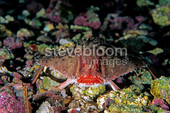 Redlip batfish, Cocos Island, National Park, Natural World Heritage Site, Costa Rica, East Pacific Ocean