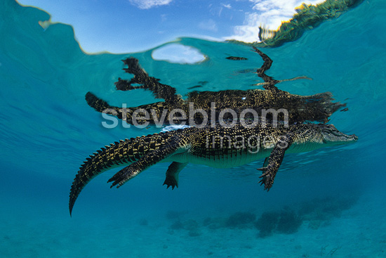 Saltwater crocodile floating on the surface, Kimbe Bay, West New Britain, Papua New Guinea, Pacific Ocean
