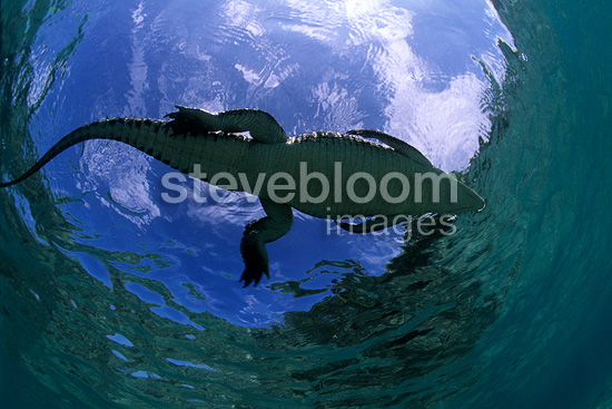 Saltwater crocodile on the surface, Kimbe Bay, West New Britain, Papua New Guinea, Pacific Ocean