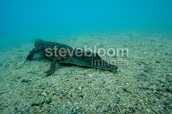 Saltwater crocodile, Kimbe Bay, West New Britain, Papua New Guinea, Pacific Ocean