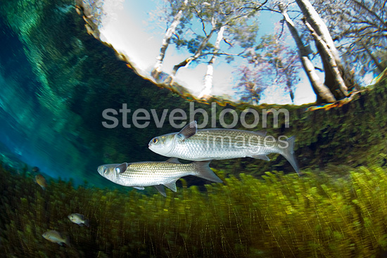 White mullet, Ginnie Spring, Florida, United States