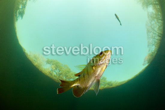 Bluegill swimming close to the surface, Santa Fe river, Ginnie Spring, Florida, United States