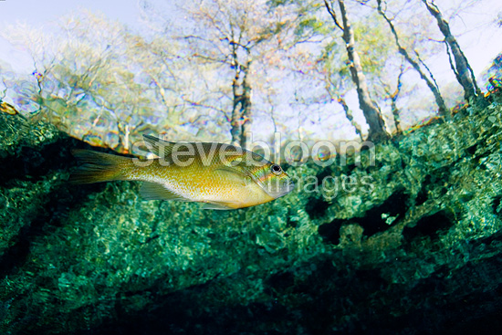 Bluegill swimming close to the surface, Ginnie Spring, Florida, United States