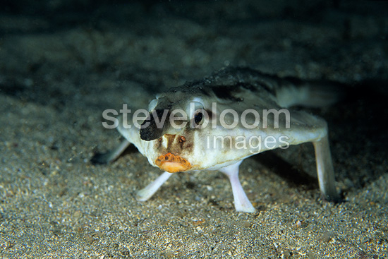 Red lipped Batfish, Galapagos Islands, UNESCO Natural World Heritage Site, Ecuador, East Pacific Ocean