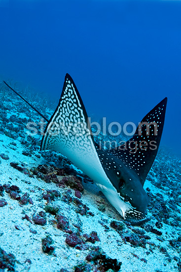 Eagle ray feeding on sand eels, Darwin island, Galapagos Islands, UNESCO Natural World Heritage Site, Ecuador, East Pacific