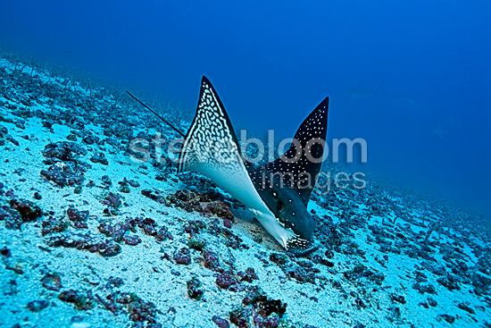 Eagle ray feeding on sand eels, Darwin island, Galapagos Islands, UNESCO Natural World Heritage Site, Ecuador, Pacific