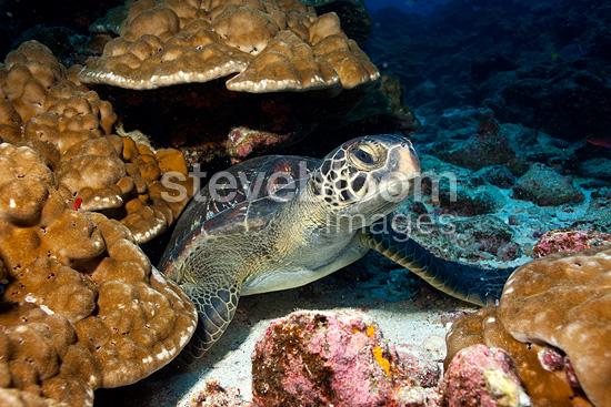 Green Turtle, endangered (IUCN), Galapagos Islands, UNESCO Natural World Heritage Site, Ecuador, East Pacific Ocean