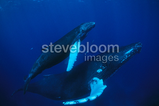 Humpback whale, mother and calf, Vulnerable (IUCN), Silver Bank, Turks & Caicos, Caribbean Sea, Atlantic Ocean