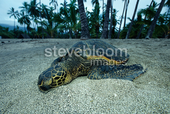 Green sea turtle resting, endangered (IUCN), Place of Refuge, Pu'uhonua or Honaunau, Kona, Big Island, Hawaii, Pacific Ocean