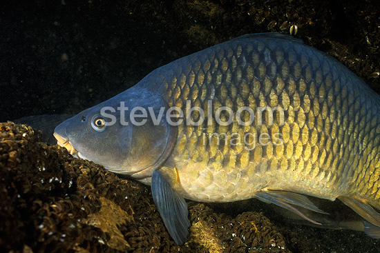 Carp, Lugano Lake, Ticino, Switzerland