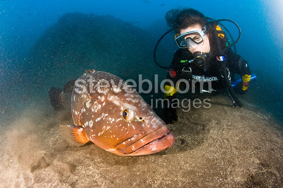 Scuba diver with dusky grouper, endangered (IUCN), Madeira Island, Portugal, Atlantic Ocean