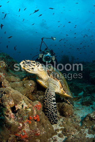 Scuba diver photographing a Hawksbill turtle, Critically endangered (IUCN), Maldives, Indian Ocean