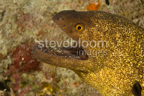 Rock shrimp cleaning a Yellowmargin moray, Maldives, Indian Ocean