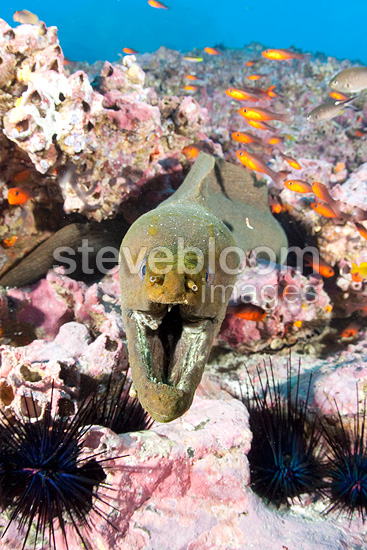 Green moray with sea urchins and Guadalupe cardinalfish, Malpelo Island National Park, Natural World Heritage Site, Colombia