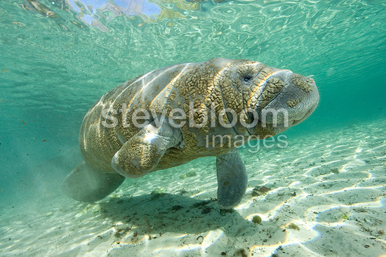 Florida manatee, a subspecies of the West Indian manatee, Vulnerable (IUCN), Crystal River, Florida, United States