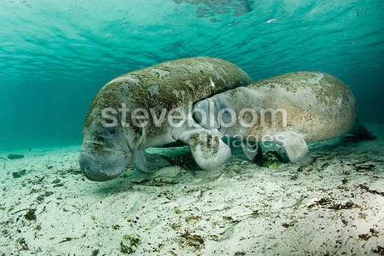 Florida manatee calf suckling milk from mother, subspecies of West Indian manatee, Vulnerable (IUCN), Crystal River, Florida USA