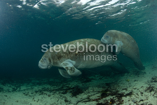 Mother and calf Florida manatee, a subspecies of West Indian manatee, Vulnerable (IUCN), Crystal River, Florida, United States