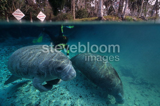 Snorkeler with a couple of Florida manatee, a subspecies of the West Indian manatee, Crystal River, Florida, United States