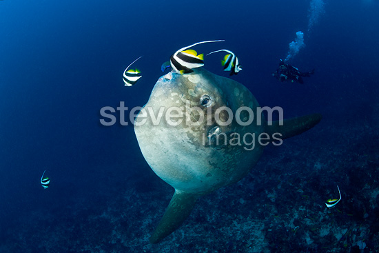 Longfin bannerfish cleaning the skin of an Ocean Sunfish, Crystal Bay, Nusa Penida, Bali Island, Indonesia, Pacific Ocean