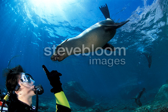Scuba diver with California Sea Lion, Los Islotes, Sea of Cortez, Baja California, Mexico, East Pacific Ocean