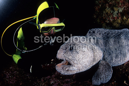 Scuba diver and wolf eel, Vancouver Island, British Columbia, Canada, Pacific Ocean
