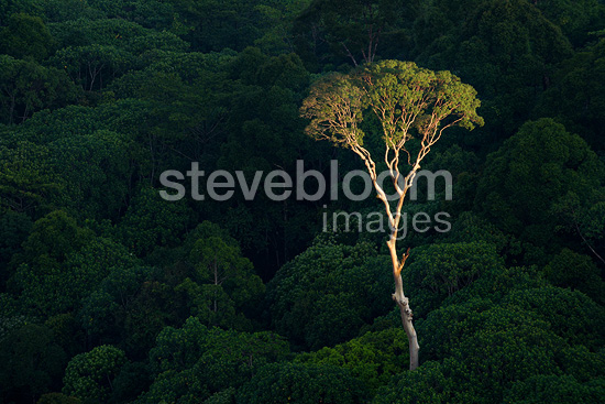 Emergent Menggaris Tree protruding the canopy of lowland Dipterocarp rainforest. Heart of Danum Valley, Sabah, Borneo.