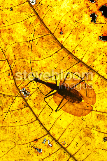 Adult Violin Beetle on decaying leaf on the rain forest floor. Near Ginseng Camp, Sabah's 'Lost World', Maliau Basin, Borneo