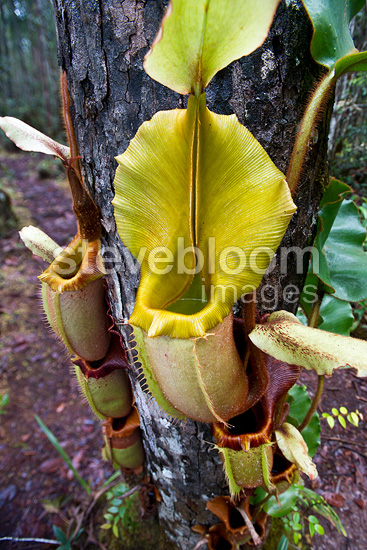 Large aerial pitcher of Pitcher Plant. Montane mossy heath forest (kerangas), Maliau Basin, Sabah's 'Lost World', Borneo