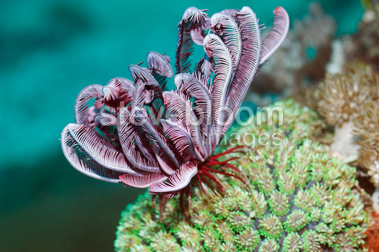 Crinoid or featherstar, Indonesia.