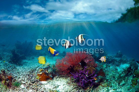 Moorish idols, Blue-girdled angelfish and Latticed butterflyfish.