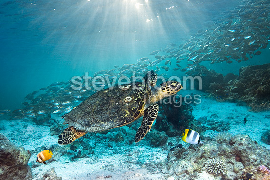 Hawksbill turtle swimming over coral reef with a school of Scad and two butterflyfish, Misool, Indonesia.