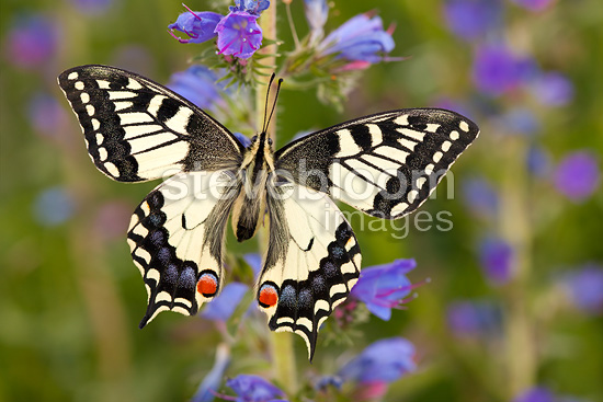 Common Swallowtail butterfly feeding on Viper's Bugloss / Blueweed in alpine meadow. Nordtirol, Tirol, Austrian Alps, 1700 metres altitude, July.