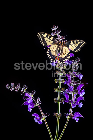 Common Swallowtail butterfly feeding on Meadow Clary  flowers, backlit. Nordtirol, Tirol, Austrian Alps, 1700 metres altitude, July.