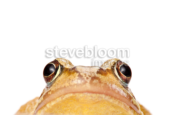 Common frog, photographed on a white background, Derbyshire, UK. March.