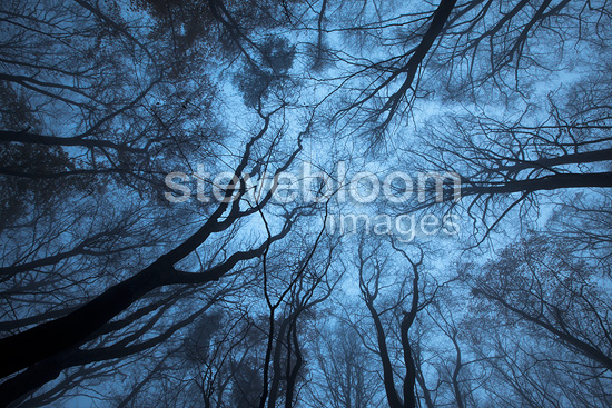 Looking up through a Beech wood canopy in winter, Peak District National Park, Derbyshire, UK.