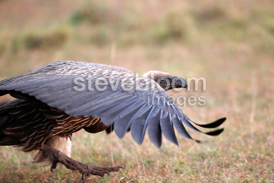 White-backed vulture, Mara Naboisho, Kenya