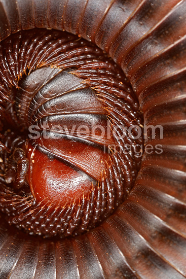 Close up of millipede, Mara Naboisho Kenya