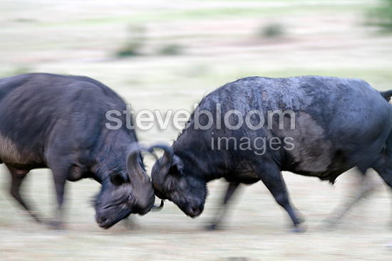 Buffalos fighting, Masai Mara, Kenya