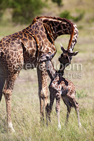 Giraffe with newborn baby, Masai Mara, Kenya, February