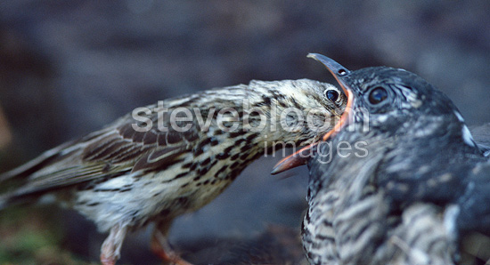 Cuckoo chick being fed by