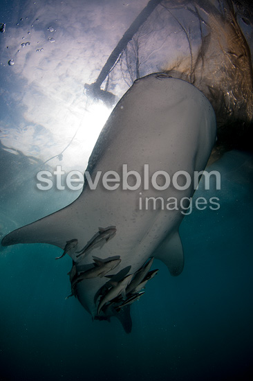 Whale shark below the nets of the bagan (local fishing boat with platform and nets), Cenderawasih Bay, New Guinea , Indonesia