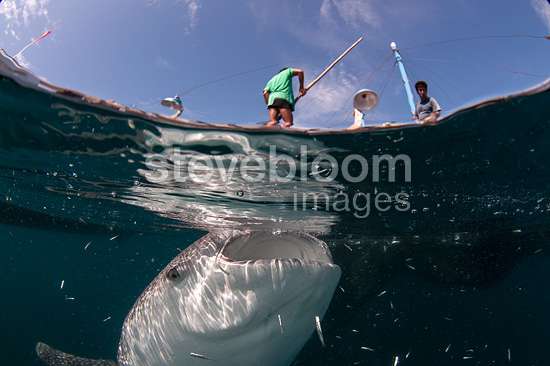 Split scene of Whale shark below a bagan (local fishing boat with platform and nets), Cenderawasih Bay, New Guinea , Indonesia