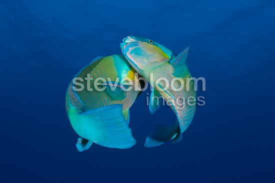 Rusty parrotfishes mating, Red Sea, Egypt