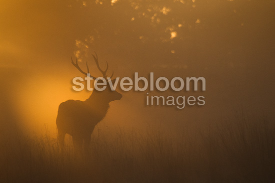 Red deer stag, Richmond Park, London.