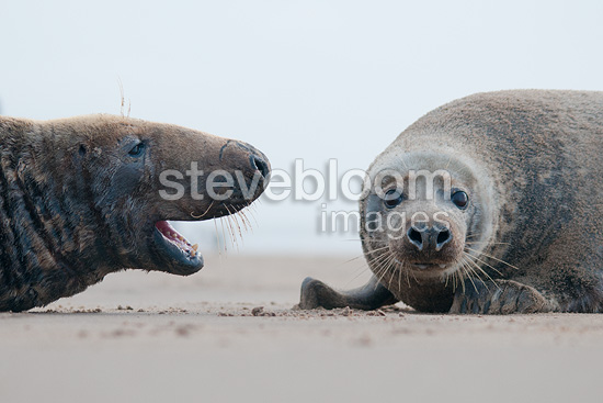 Grey seals in a dispute, Donna Nook, Lincolnshire.